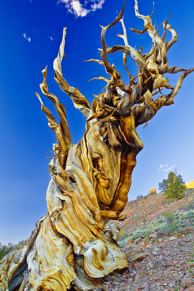 California, Eastern Serrias, Ancient Bristlecone Pine,  加利福尼亚, 远古狐尾松