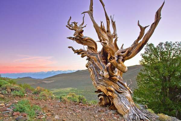 California, Eastern Serrias, Ancient Bristlecone Pine, Sunset,  加利福尼亚, 远古狐尾松